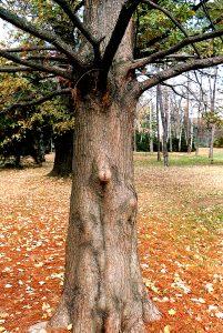 Мушко дрво